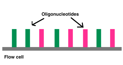 Oligonucleotide_chains_in_Flow_Cell (1)